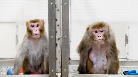 Photo: 2 Rhesus monkeys in cage