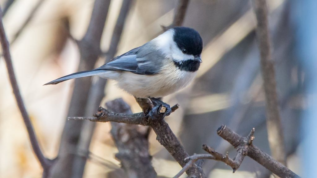 Photo: Black-capped chicadee