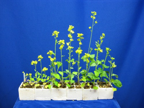 Fast-growing brassica plants can be used for many classroom experiments. This experiment showed the effect of fertilizer (numbers show how many pellets each plant received).