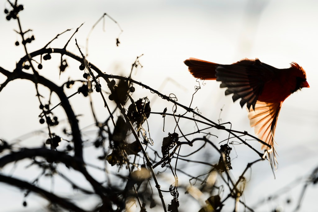 Photo: Cardinal taking flight off of bush