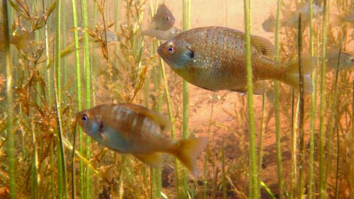 Members of the Lepomis family, like these bluegill in northern Wisconsin's Sparkling Lake show astonishing variability in population densities from year to year, often setting unprecedented records.