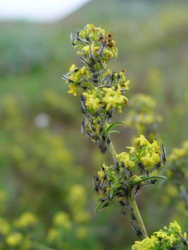 Photo: Midges on flowers