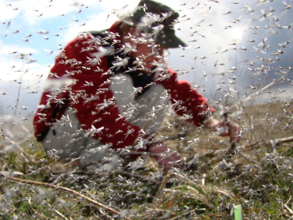 Photo: Researcher in swarm of midges