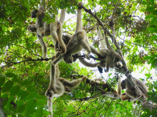Muriqui monkeys in a federally-protected reserve in southeastern Brazil, called RPPN Feliciano Miguel Abdala. University of Wisconsin–Madison Professor of Anthropology Karen Strier, has studied the critically-endangered muriqui monkeys in this patch of Brazil's Atlantic Forest since 1983. A recent and unprecedented outbreak of the mosquito-borne virus, yellow fever, has killed thousands of monkeys in the region, including nearly all of the muriqui's main competitors, brown howler monkeys.