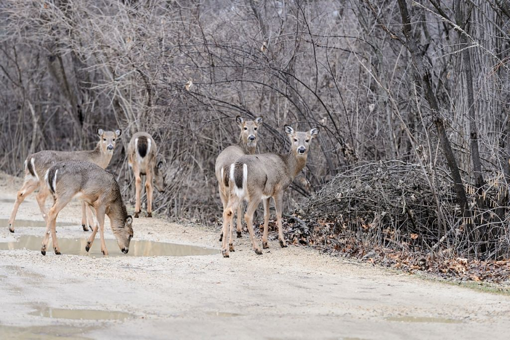A group of grazing white-tail deer cross a trail and head into the woods at the University of Wisconsin–Madison Arboretum on Feb. 24.  The signs of spring increase each month in the first part of the year.