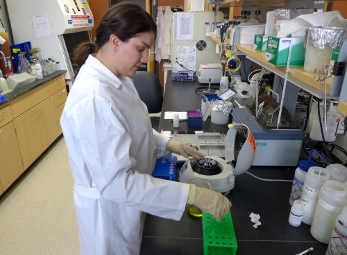 Tara Solger, a graduate student from Iran, works with Polysphondylium amoeba in the lab of Marcin Filutowicz, a professor of bacteriology at UW–Madison.