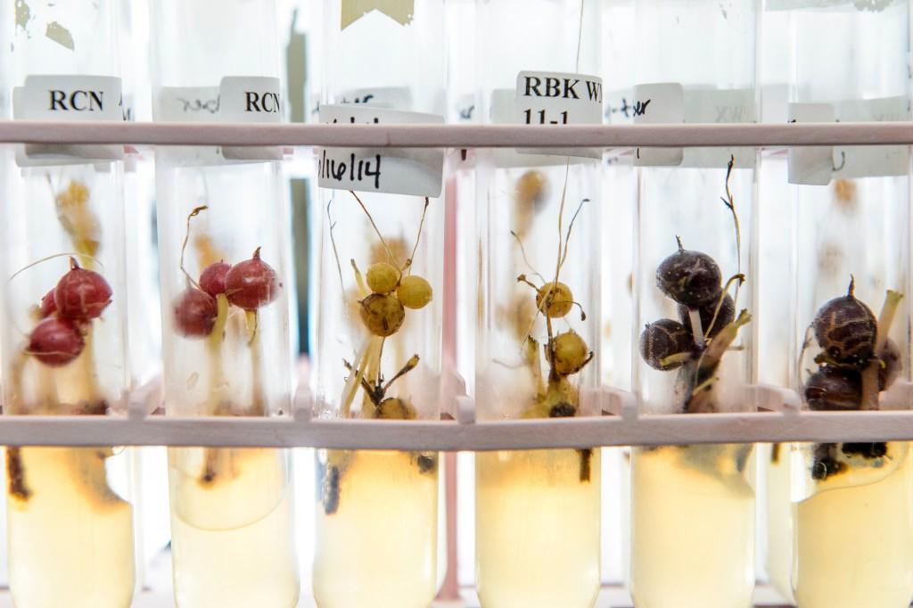 Photo: Potato cultivars in test tubes