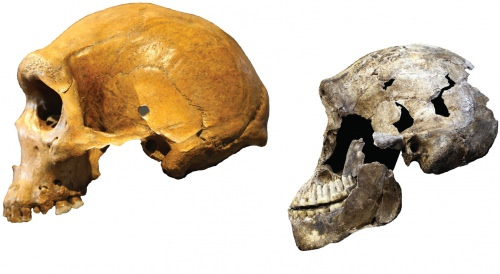 Photo: Comparison of early human and Homo naledi skulls