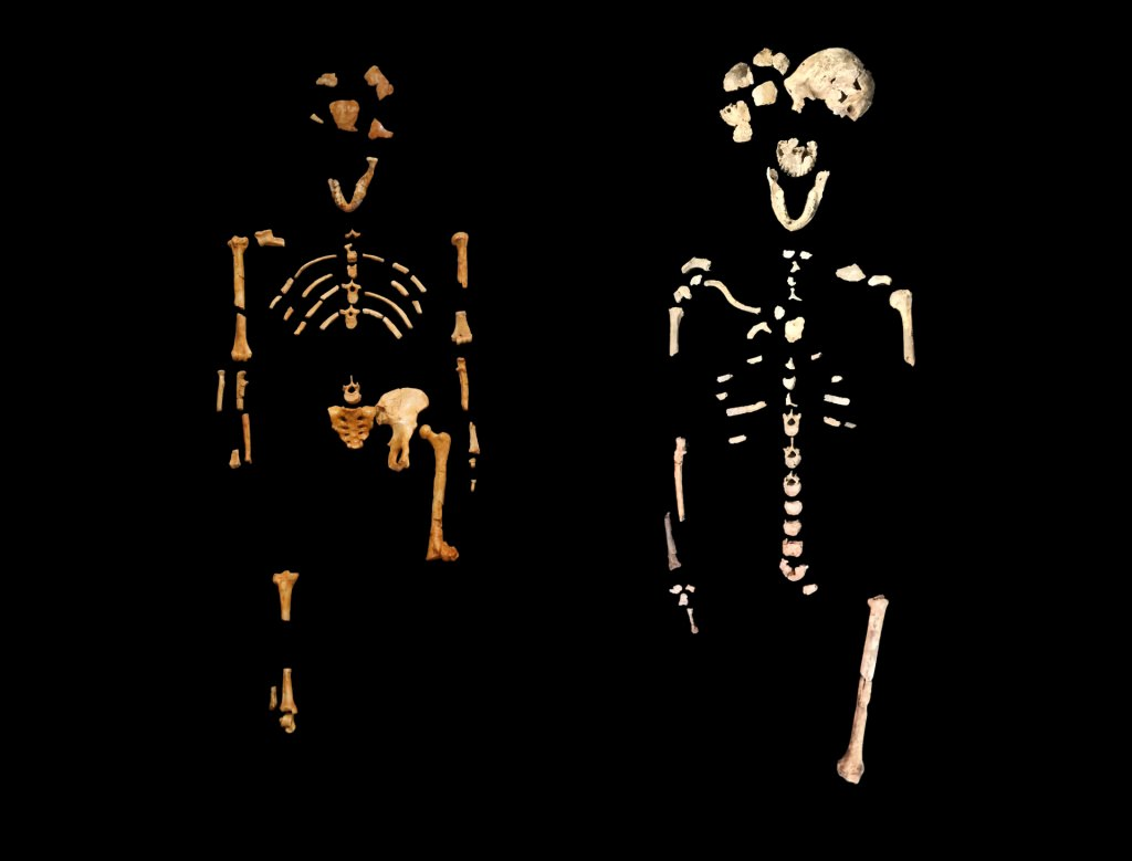 Photo: Comparison of Lucy and Neo skeletons