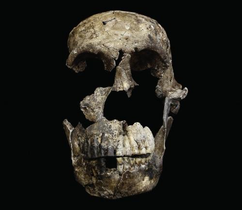 """Photo: """"Neo"""" skull of Homo naledi"""