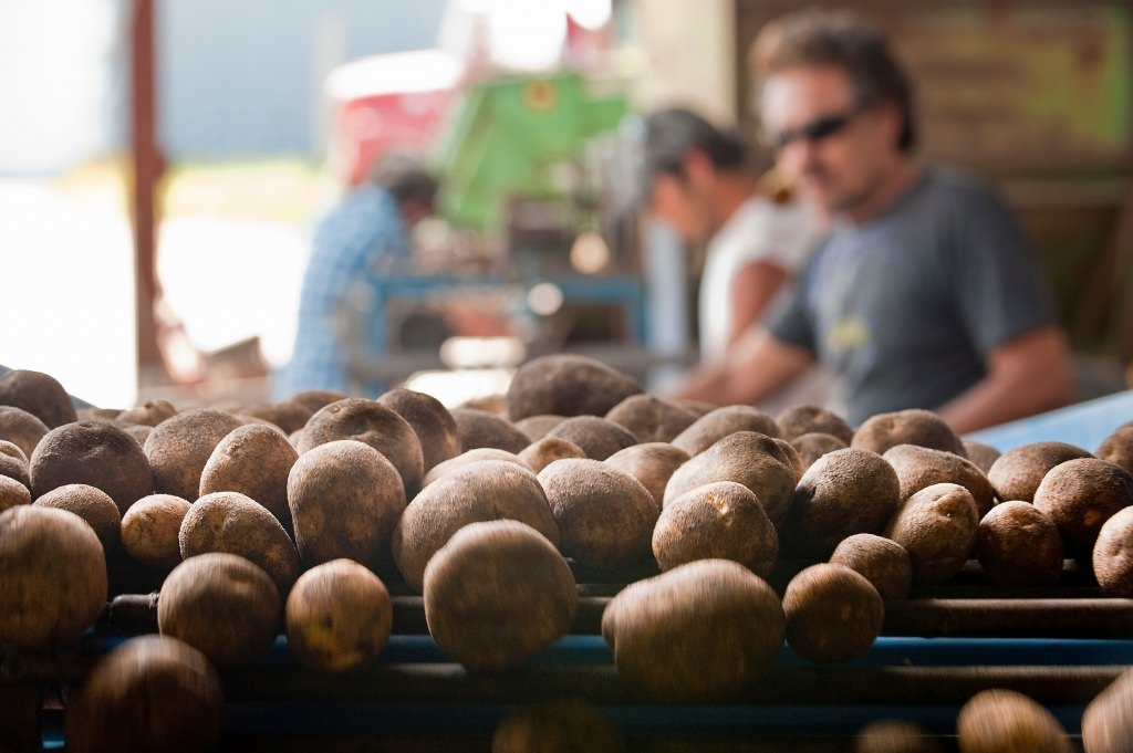 Photo: Workers picking through potatoes on conveyor