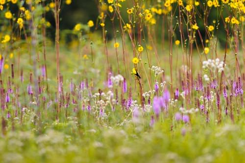 A goldfinch perches on amid a sea of flowering prairie dock, purple gayfeather and rattlesnake master plants at the Curtis Prairie at the University of Wisconsin–Madison Arboretum during a summer morning on Aug. 15, 2013.