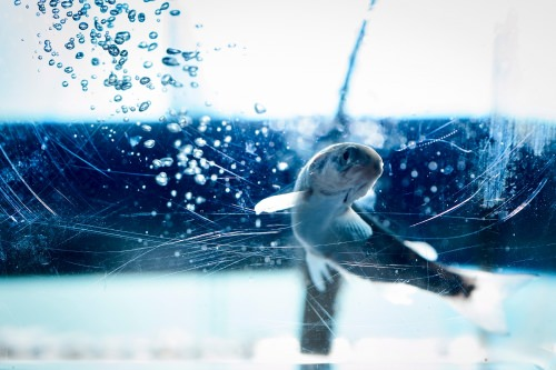 A female Norwegian Atlantic salmon swims in a fish tank as part of a research study at the Water Science and Engineering Laboratory .