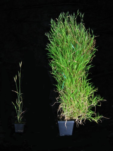 Photo: Plants with and without vernalization