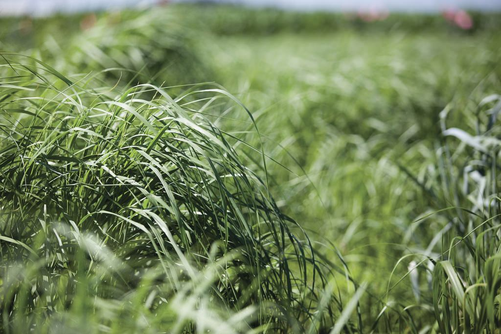 Photo: Switchgrass growing in a field