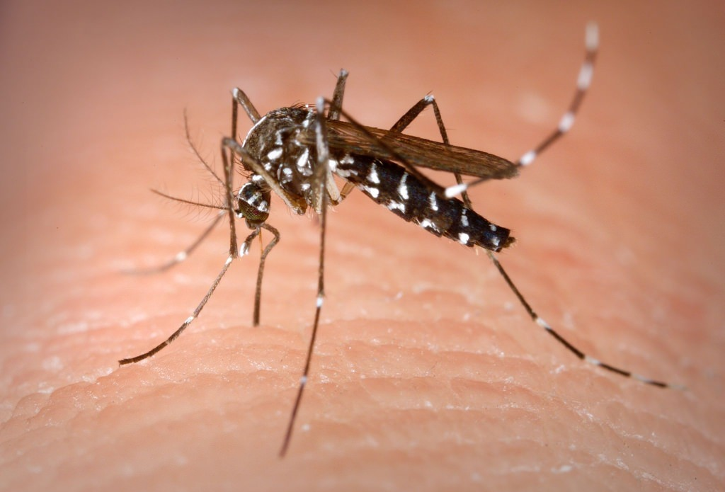 Photo: Asian tiger mosquito on skin