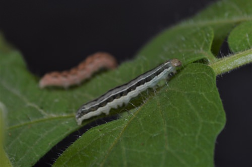 Photo: Two caterpillars on a tomato plant