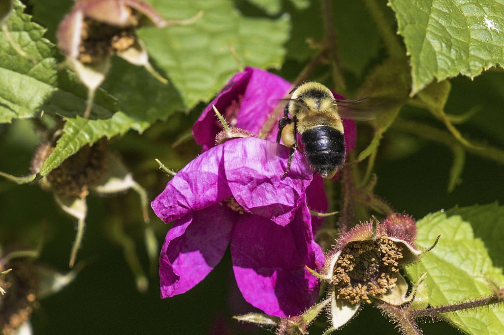 Photo: Rusty patched bumble bee on a purple flower