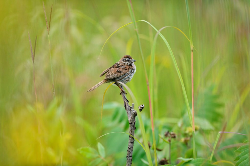 Photo: Sparrow perched on a branch in prairie
