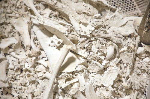 Photo: Image of the bones of animals from necropsies sent through the tissue digester after testing at Wisconsin Veterinary Diagnostic Laboratory in UW-Madison in Madison, Wi. Wednesday, Aug. 30, 2017. (Photo by Hyunsoo Léo Kim   University Communications)