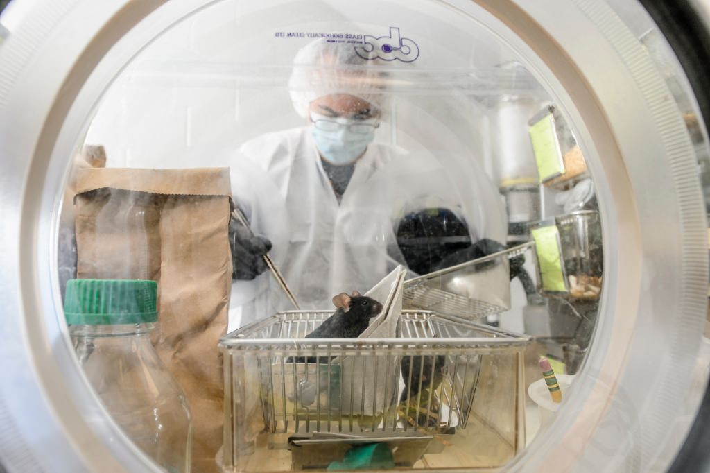 Photo: Lab manager checking on germ-free mice in a sterile environment
