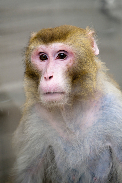 Photo: Rhesus macaque monkey in primate lab