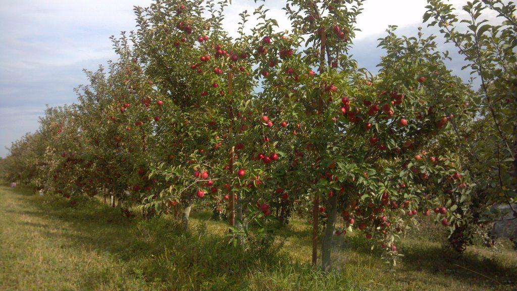 Photo: Row of apple trees on The Cider Farm