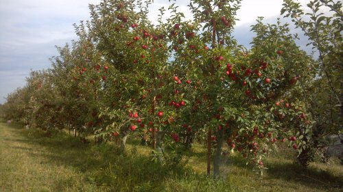 Photo: Row of apple trees on The Cider Farm