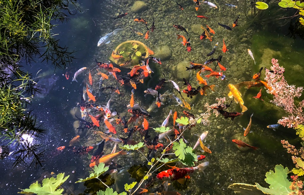 Photo: A school of koi in a pond