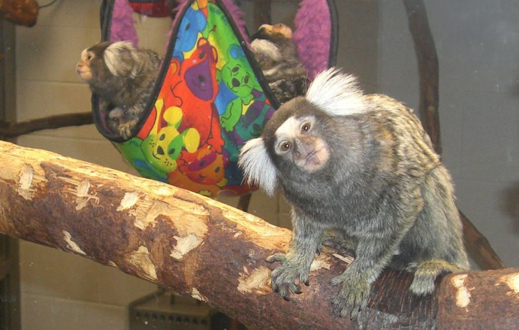 Photo: Marmoset dad on branch with sling full of babies in background