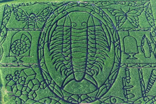 Photo: Aerial view of trilobite corn maze