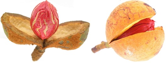 Photo: Seeds from two different tropical trees