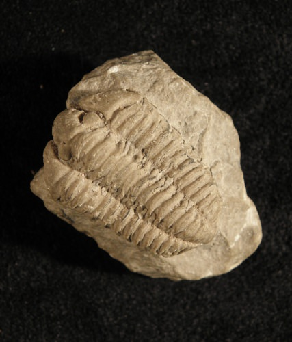 Photo: Calymene celebra, the Wisconsin state fossil