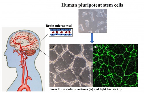 Graphic: Picture of how stem cells are turned into the blood-brain barrier