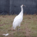 Still from video: Whooping crane walking outdoors