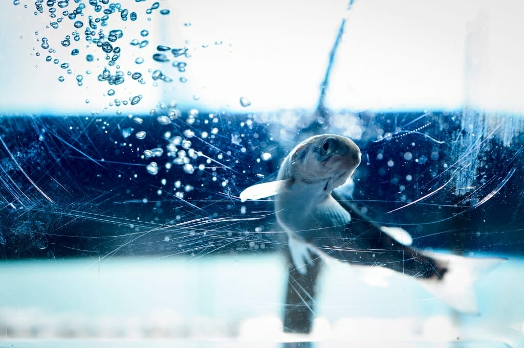 Photo: Salmon swimming in fish tank