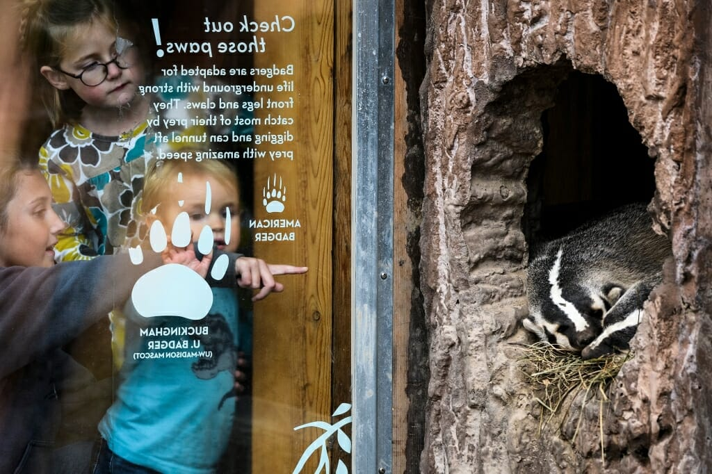 Photo: Children peering through window at real badgers