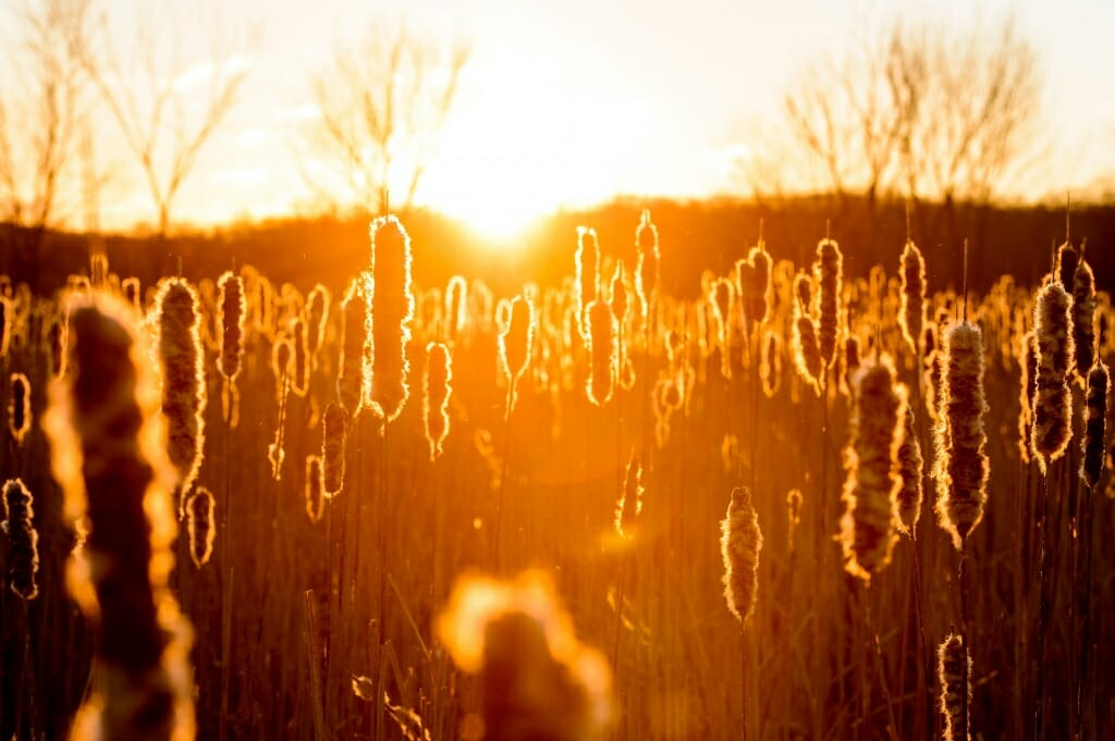 Photo: Golden cattails with sunrise behind