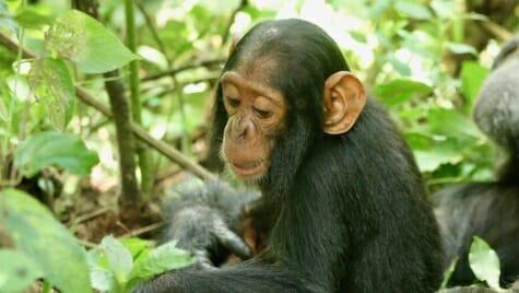 Photo: Chimp Betty in the jungle