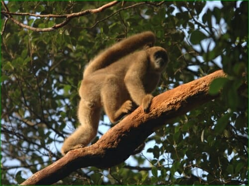 Photo: Muriqui in a tree