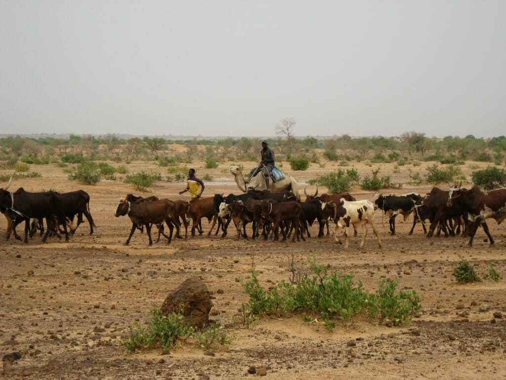 Photo: Herders with cattle in dry area with little vegetation