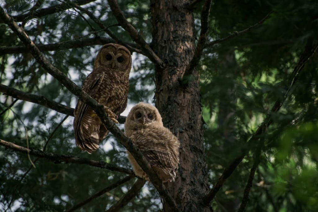 Photo: Spotted owls in a tree