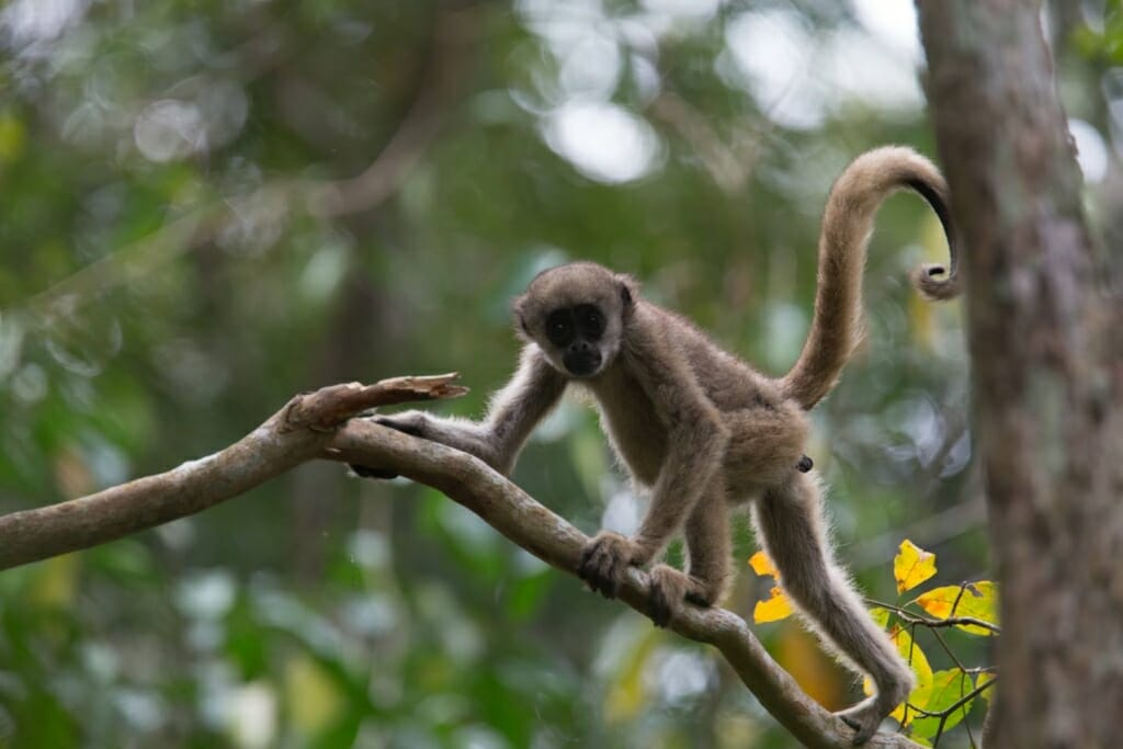 Photo: Baby muriqui on branch