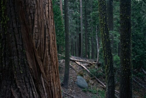Photo: Trees that provide spotted owl habitat
