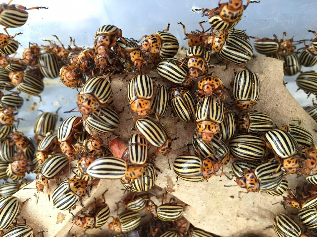Photo: Swarm of Colorado potato beetles