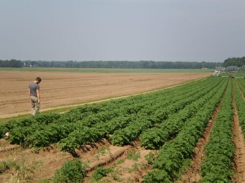Photo: Man in field looking at potato plants