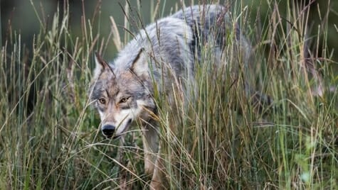 Photo: A wolf in tall grass