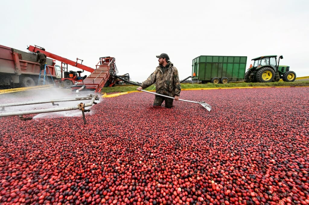 Photo: Man standing in cranberry bog