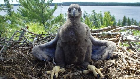 """This young eagle marks """"nesting success"""" in Voyageurs National Park."""