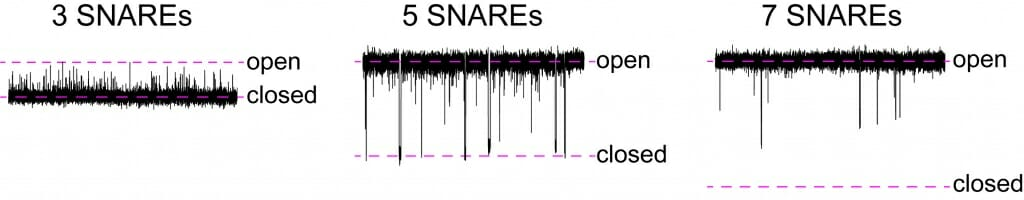 Graphic: Seen at finer time increments, a fusion pore with three proteins called SNARE is mainly closed and only flickers open. With five SNAREs, pores spend most of time open but flicker closed. A pore with seven SNAREs is almost always open.